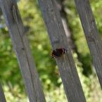 Бабочка лета